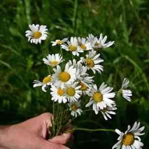 0dab4f73f8e74db8e0ccfc58e81bacd1 - ▷ Flores silvestres 📖