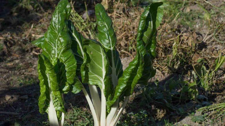 fruits legumes saison blette