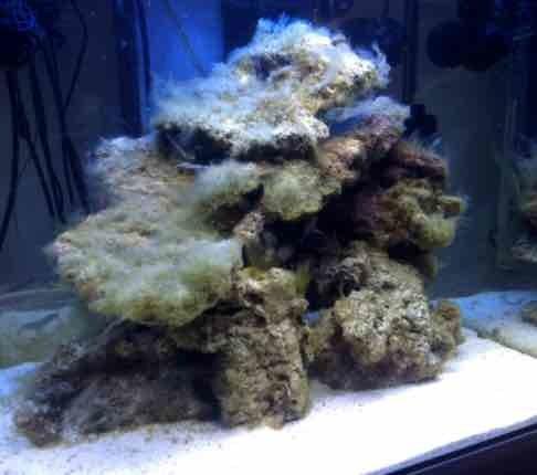 Aquarium recifal en cour de cycle azote