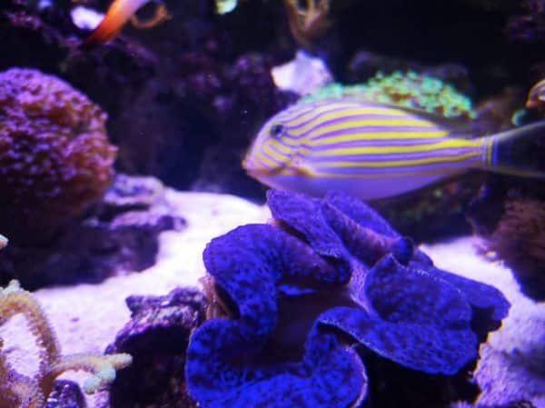 aquarium recifal et bénitiers