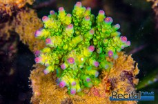 Acropora tenuis Candy crush