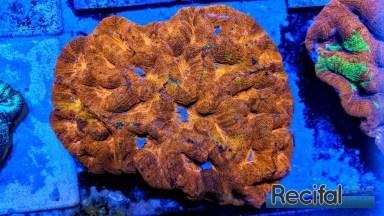 Homophyllia bowerbanki doré sauvage