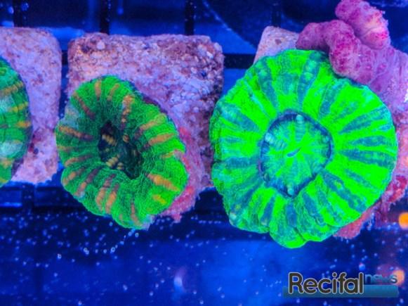 Croc Island Scoly verts fluorescents, Micromussa pacifica classique de Darwin en Australie