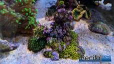 Petit rocher de Zoanthus au pied du décor.