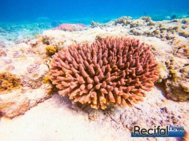 Une belle colonie orange sur un platier d'un récif interne Australien.