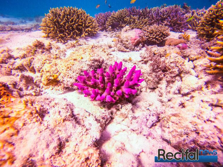 Les colonies roses, se voient de loin sur le platier clairsemé de ce lagon de la grande barrière de corail Australienne.