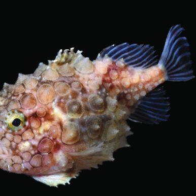 Eumicropterus spinosus (Petite poule de mer atlantique) Collecté le 21 août 2015 à bord du navire océanographique Helmer Hansen au Nord ouest du Svalbard. © Muséum national d'Histoire naturelle - Samuel Iglesias