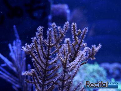 poisson-dor-gorgone