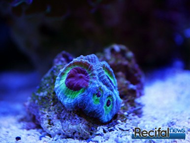 red sea reefled reefbeat