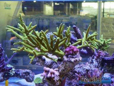 poisson-or-aquarium-recifal-SPS