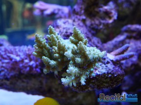 poisson-or-aquarium-recifal-acropora