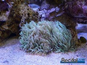 poisson-or-aquarium-recifal-catalaphyllia