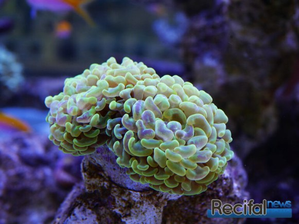 poisson-or-aquarium-recifal-euphy