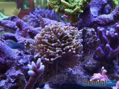 poisson-or-aquarium-recifal-golden-torch