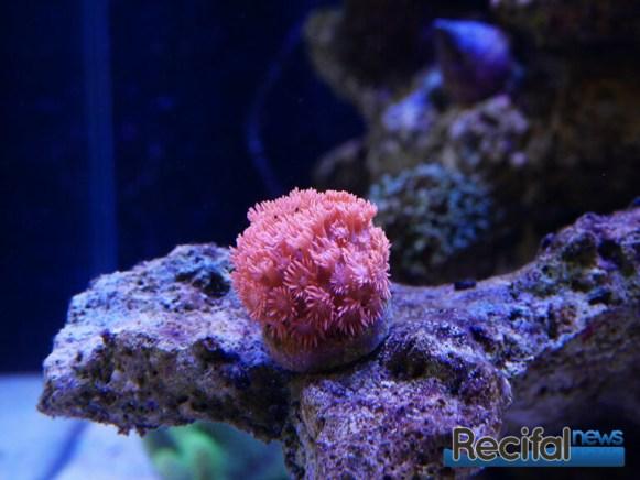 poisson-or-aquarium-recifal-goniopora