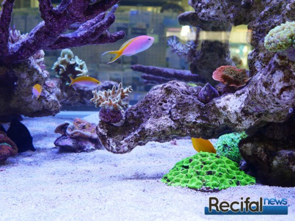 poisson-or-aquarium-recifal-grafted