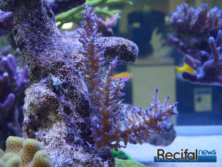 poisson-or-aquarium-recifal-ice-fire