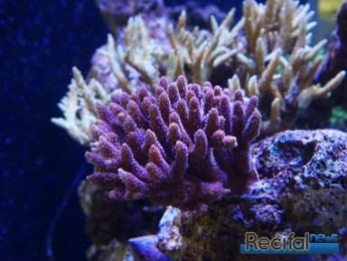 poisson-or-aquarium-recifal-millepora