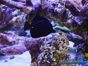 poisson-or-aquarium-recifal-rostratum