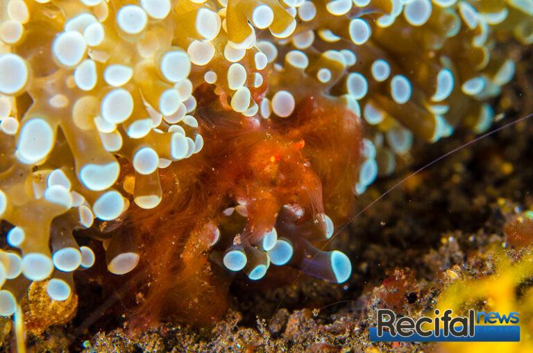 Le crabe orang-outan est un colocataire régulier de Fimbriaphyllia divisa.