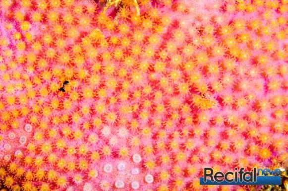 Les polypes roses à bouches jaunes sur fond violet donne un rendu particulièrement intéressant.
