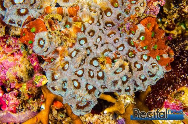 Cette colonie est de toutes les couleurs avec des polypes marbrés.