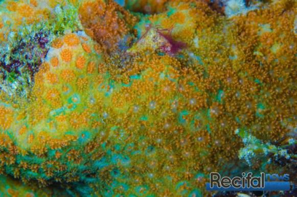Probablement la coloration la plus interessante, verte avec les polypes orange 'rainbow'