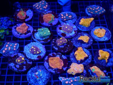 mace-vivarium-2019-coraux