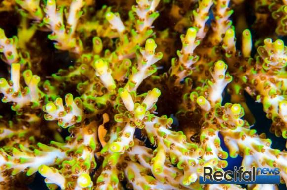 La même colonie d'un peu plus près, notes les corallites axiales tubulaires.