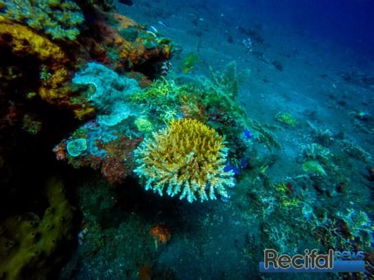 Une colonie d'acropora microclados par une quinzaine de mètres de profondeur.