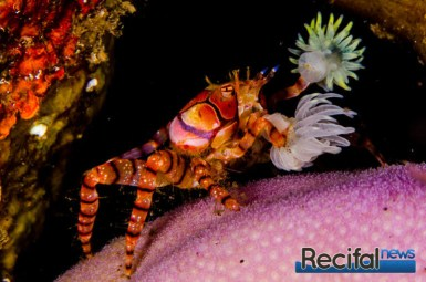 Le crabe en train de balancer ses deux anémones pour se proteger.