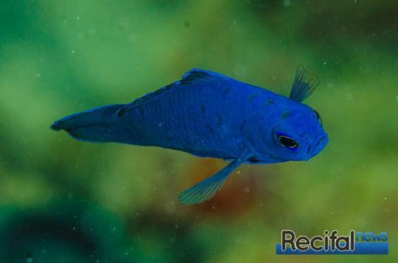 Assessor macneilli est un poisson curieux