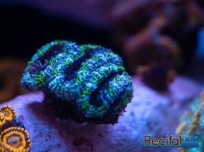 acanthastrea-miromussa-lordhowensis-vert-bleu