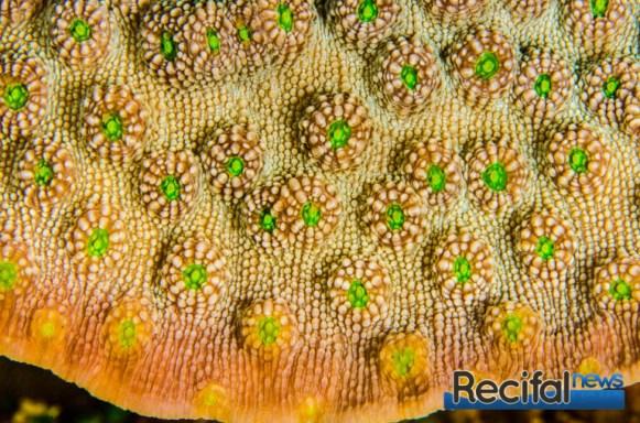 Les polypes de E. gemmacea sont legèrement plus larges que ceux de E.lamellosa.