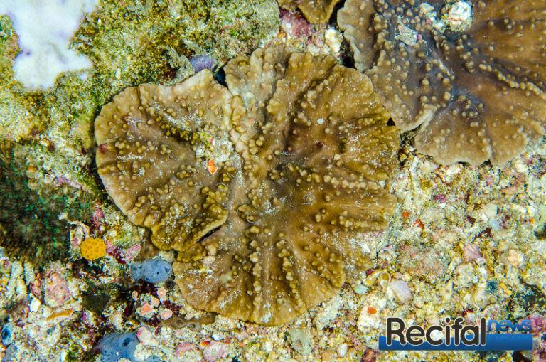 Une petite colonie de Sinularia pocilloparaeformis