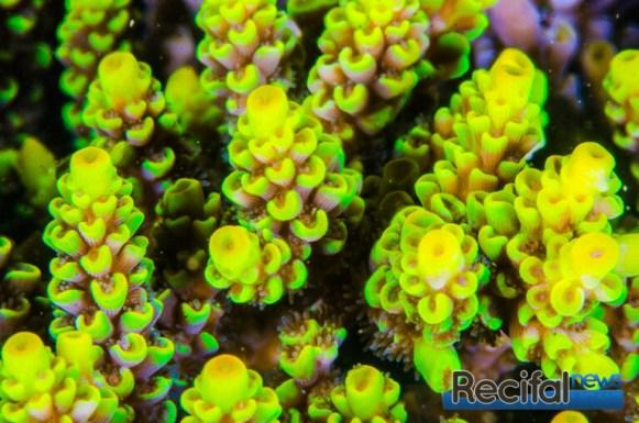 Souche classique d'Acropora tenuis jaune fluorescent.