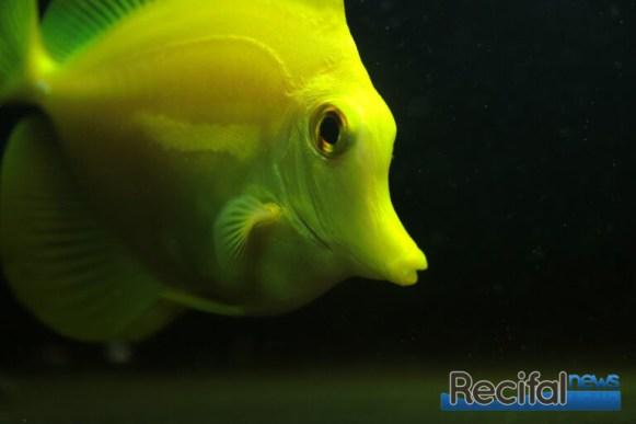 Un poisson iconique de l'aquarium récifal