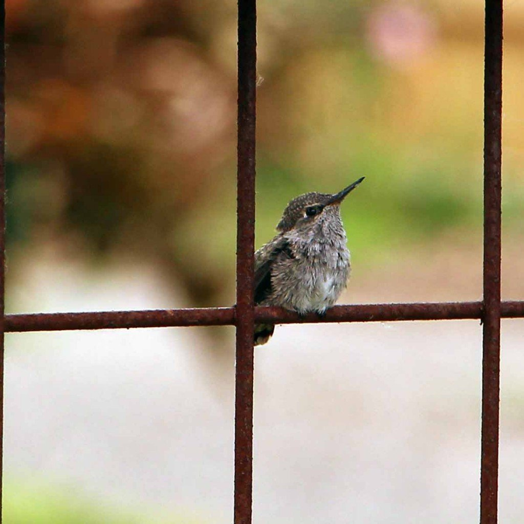 hummingbird-fledgling