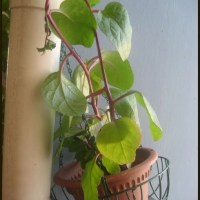 ಬಸಳೆ ಹಶಿ/Spinach Raita