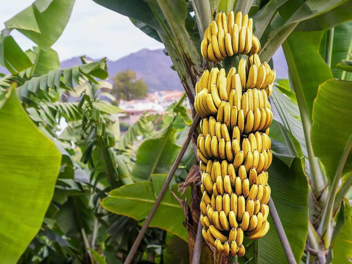banana1 1