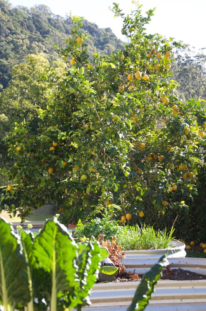 fully laden lemon tree