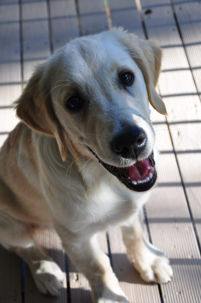 Cooper the golden retrieve showing his happy face
