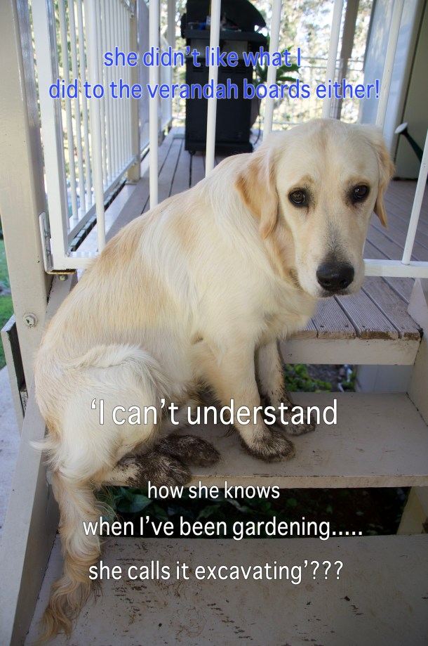 Cooper the golden retriever pup sitting on stairs with muddy paws