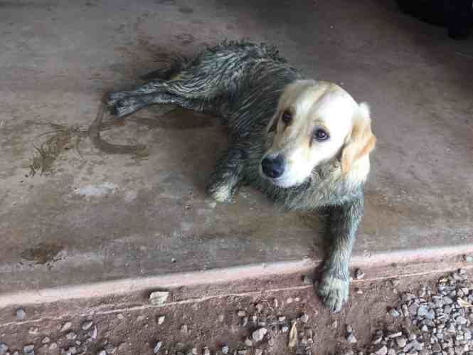 Golden retriever covered in mud