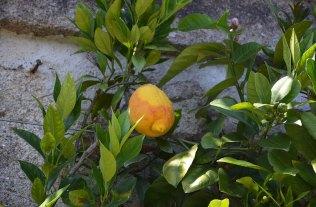 Citronnier d'Isola Bella, Italie