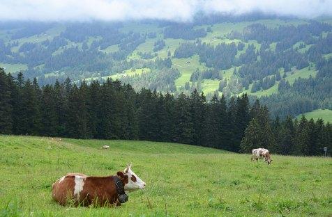 Des vaches dans un champs dans les alpages Suisses