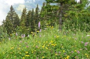 Fleurs des champs dans les alpages Suisse