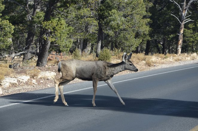 Biche au bord de route au Grand Canyon