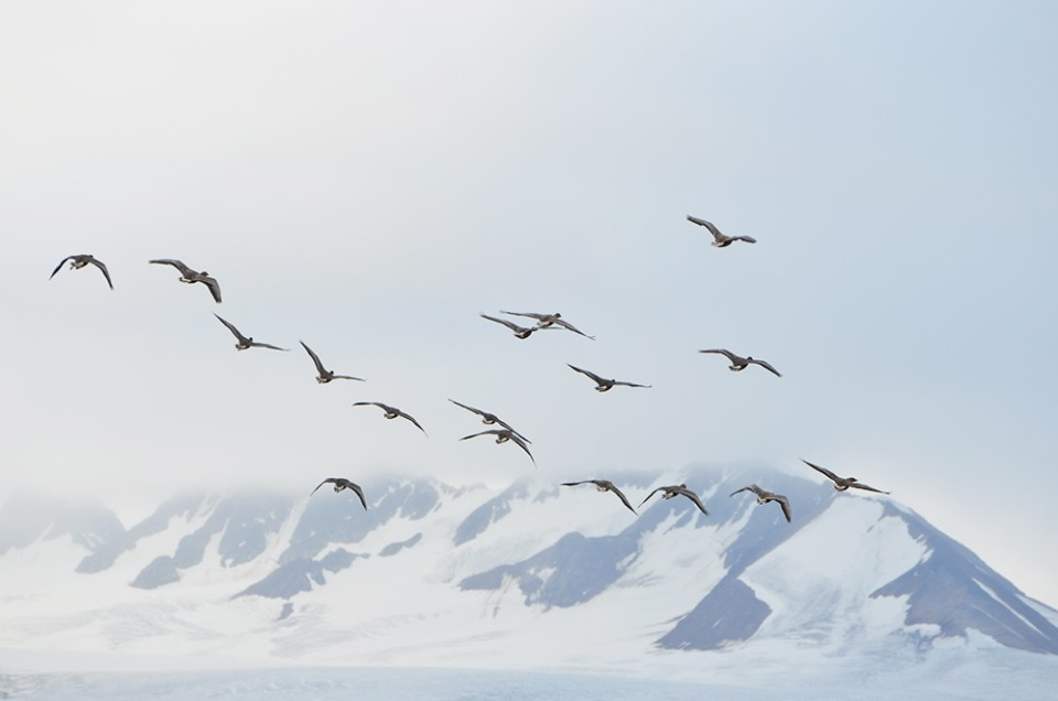 Envol d'oies à bec court devant les montagnes enneigées de la Baie de la Croix, Svalbard