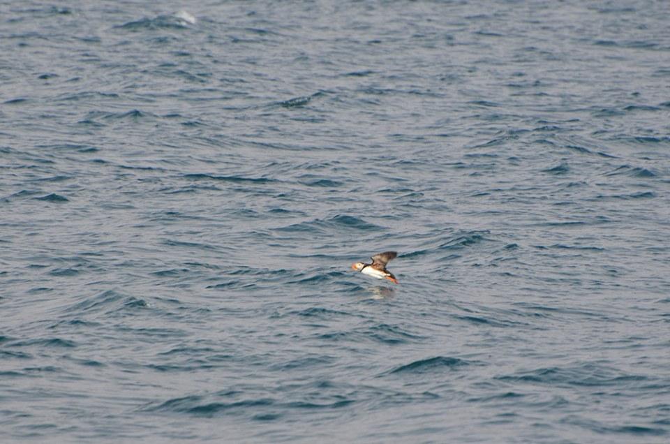 Macareux au bec orange qui s'envole au-dessus de l'eau, Spitzberg